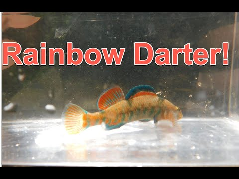 Rainbow Darter! (Backbone State Park Micro Fishing Part 2)