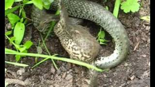 GRAS SNAKE VS TOAD (fight for life)