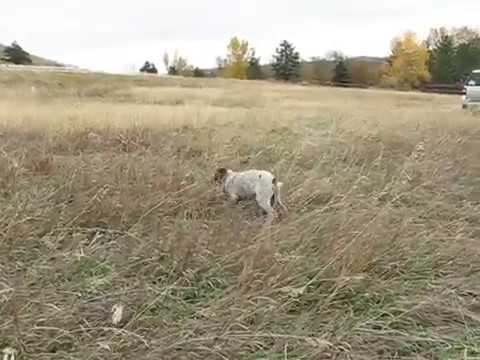 German Shorthair Pointer Puppy Retrieving Bird @ 10wks old