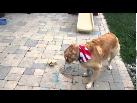 Dog struggles to catch food - Golden retriever slow motion