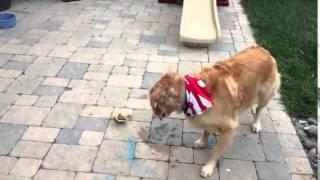 dog struggles to catch food golden retriever slow motion