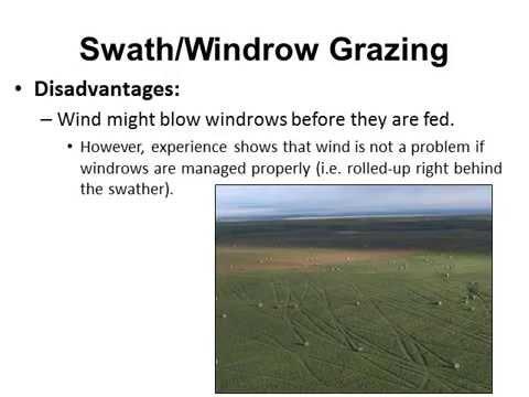 Swath / Windrow Grazing:An Alternative Livestock Feeding Technique