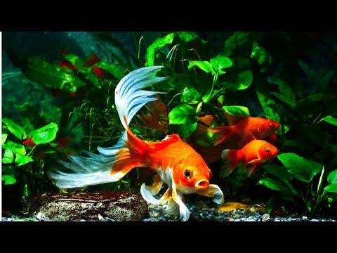 Top 5 Aquarium Plants For Goldfish