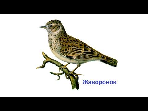 фото жаворонок птицы