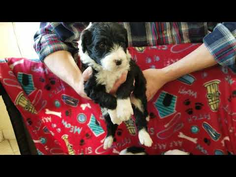 Sheepadoodle Puppies For Sale Prairie Hill Puppies Sheepadoodle Breeder, Hypoallergenic Puppies