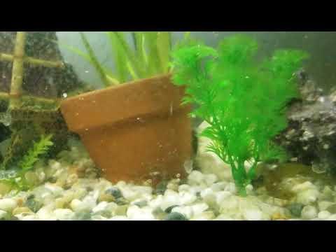 Cherry Shrimp In My Goldfish Tank