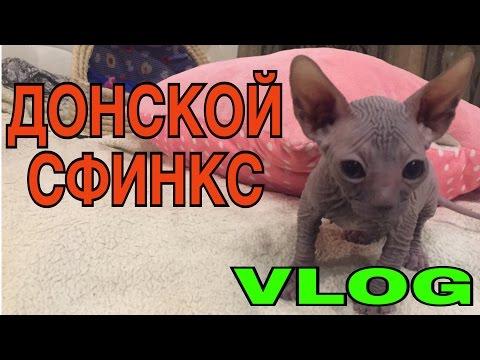 VLOG: Донской сфинкс