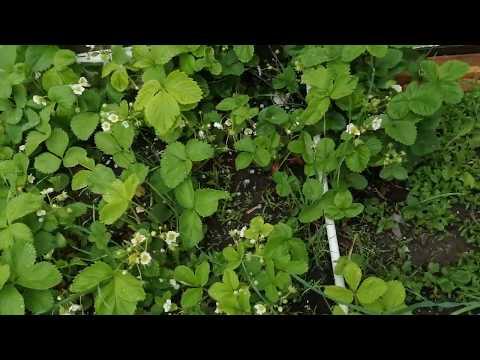 ЗАВЯЗИ МНОГО - опрыскать клубнику когда цветет