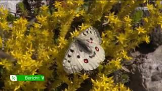 Schmetterlingssterben ORF konkret