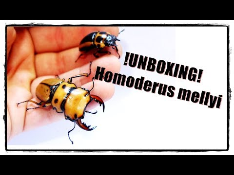 !UNBOXING: Homoderus mellyi + Dried Beetles!