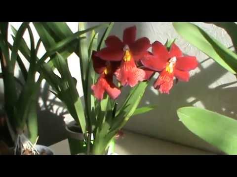 Камбрия - орхидея для новичков