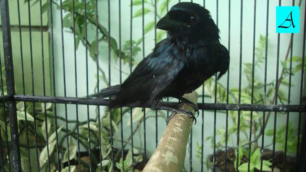 Cara Memancing Burung Srigunting Yang Malaes Bunyi Agar Racin Gacor Dan Ngplong Youtube