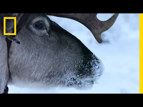 Hitch a Ride with Reindeer Herders  | National Geographic