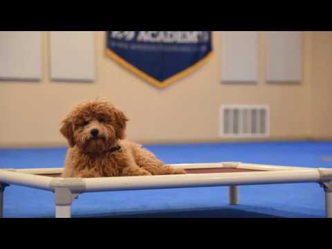 Winston (Labradoodle) Puppy Camp Training Demonstration