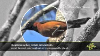 AskNature Nugget Ep. 16: The Poisonous Hooded Pitohui