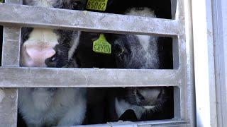 Enquête : les veaux européens exportés vers Israël