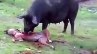 Pig Eating Dead Dog