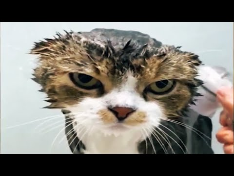 Cats Hate Water! - Funny Cats in Water Compilation ? [Funny Pets]