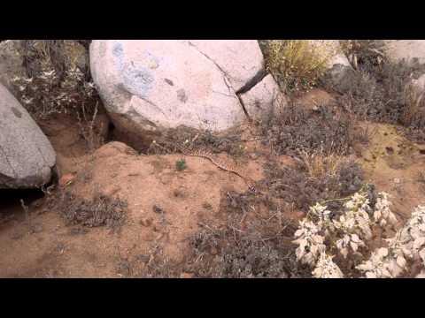 Red Rattlesnake Perris CA