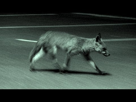 Urban fox calling in the UK