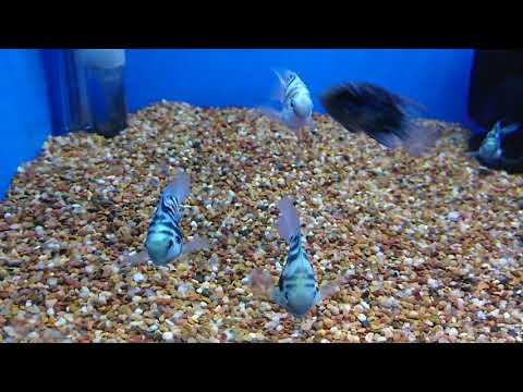 Rare Convict Cichlid / Parrot Cichlid Hybrid