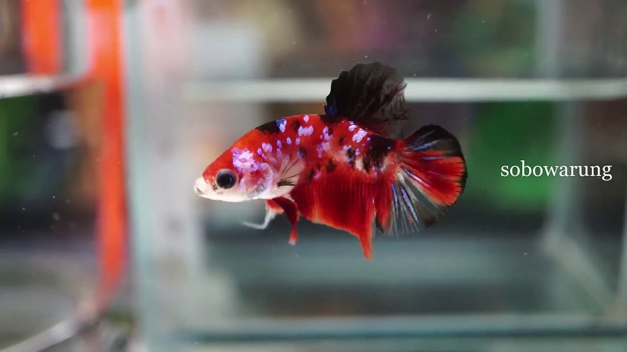Gambar Ikan Cupang Red Samurai