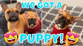 Getting a FRENCH BULLDOG PUPPY for our Frenchie! + First Week Home
