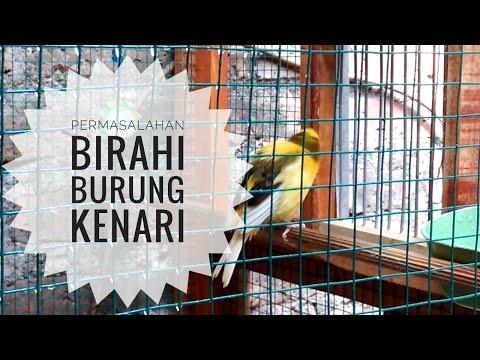 Download Lagu CARA MENURUNKAN BIRAHI BURUNG KENARI