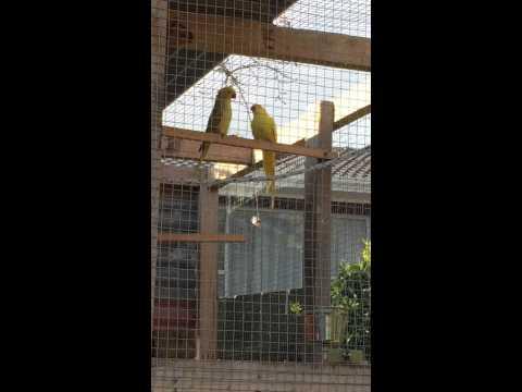 Indian ringneck feeding female , indian ringneck parrot facts for kids