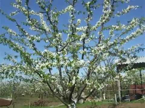 цветёт черешня крупноплодная 7 лет