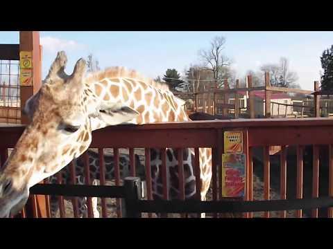 "feeding April the giraffe at Animal Adventure Park ""Jungle Bells"" event 2017"