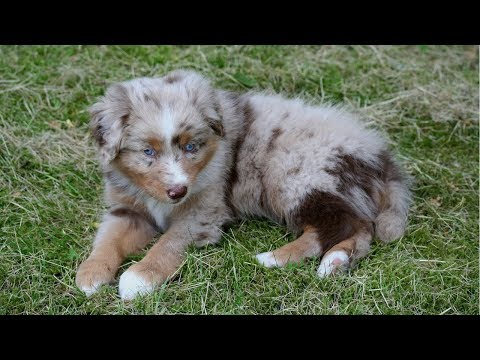 Puppy's First Week at Home - part 2/2 | Pekka the Australian Shepherd