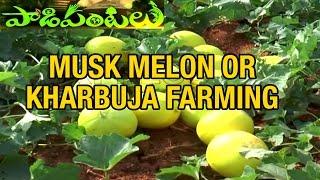 Musk Melon (Kharbuja) Farming Success story of Kadapa Farmer  | Paadi Pantalu
