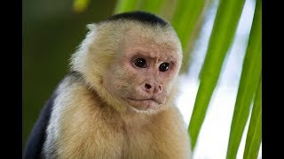 Gambar cover 13 Interesting Capuchin Monkey Facts