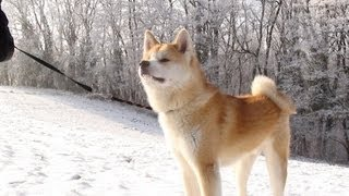Akita Inu - Kaitô In The Snow