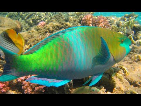 Parrotfish - Parrot Fish