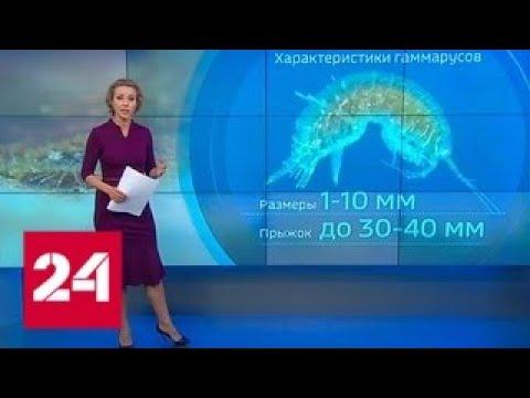 Водяные блохи пошли в атаку: заходить в море в районе Мелитополя врачи не рекомендуют Россия 24