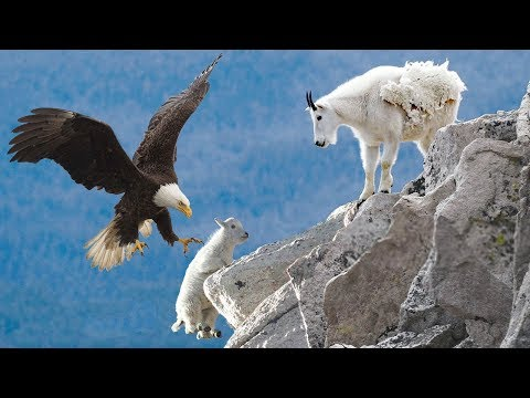 AMAZING EAGLE CATCH BABY MOUNTAIN GOAT IN NORTH AMERICA | Life Of Mountain Goat