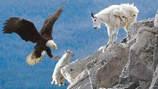AMAZING EAGLE CATCH BABY MOUNTAIN GOAT IN NORTH AMERICA Life Of Mountain Goat