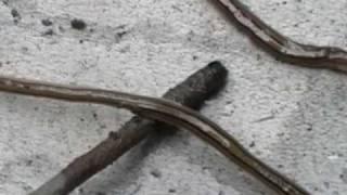 恐怖喔! 這系蝦米蟲,10多公分長! 是貓咪的寄生蟲嗎? 解:陸生渦蟲