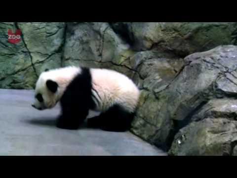 Adorable Panda Cub At Washington Zoo