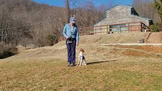Training a Brittany Spaniel puppy.