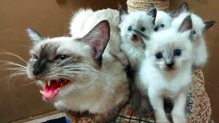 МЯУКАНЬЕ КОТЯТ котята мяукают