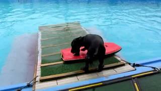 プールで遊ぶイングリッシュ・コッカー・スパニエルのアイラ。自分より...