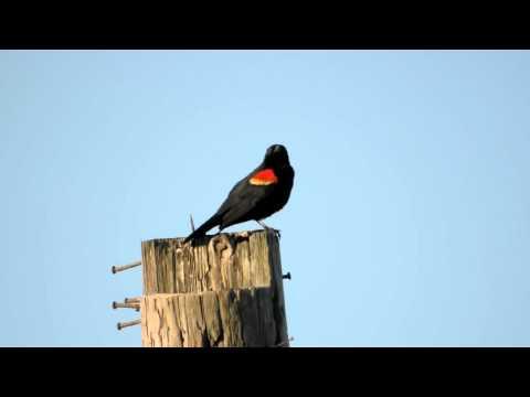 Red Winged Blackbird Sings