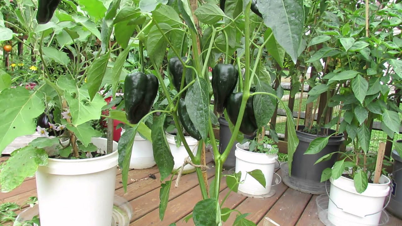 Image Result For How To Start A Pepper Garden