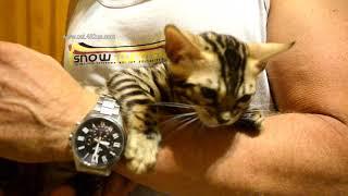 Бенгальский котенок девочка 21 08 2019