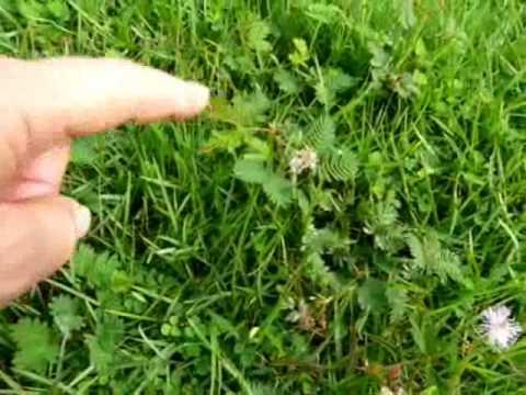 Plantes r tractables o sensible au touch youtube Bureau qui se referme