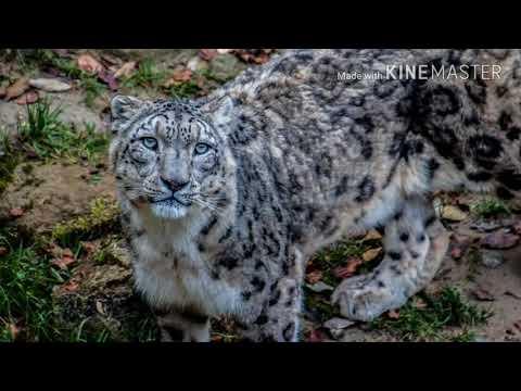 Snow Leopard Shapeshifter (Sub)
