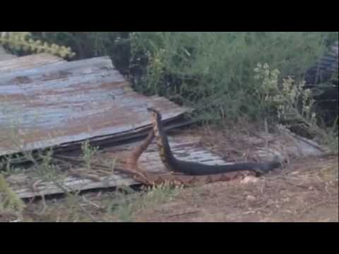 Thumbnail: Cottonmouth and Copperhead Combat